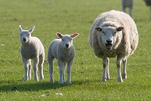 Schaf mit zwei Lämmern